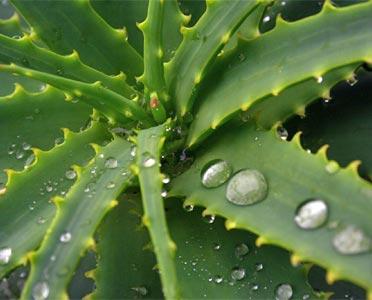 Che Differenza C E Tra L Aloe Vera E L Aloe Arborescens